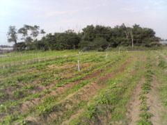 サツマイモ畑除草1.jpg