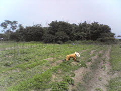 サツマイモ畑除草2.jpg