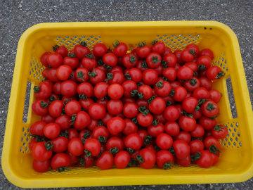 トマト収穫20120518.jpg