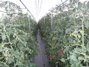 トマト20120518.jpg
