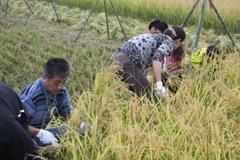 収穫祭稲刈り2.jpg
