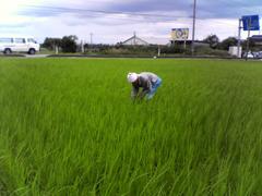 田んぼ草とり2.jpg
