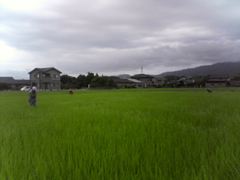 田んぼ草とり3.jpg