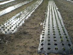 野菜畑1.jpg